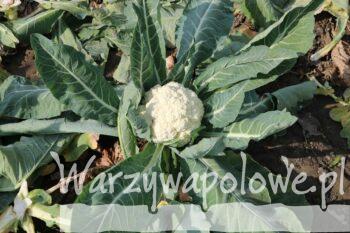 Róza kalafiora odmiany Whitex
