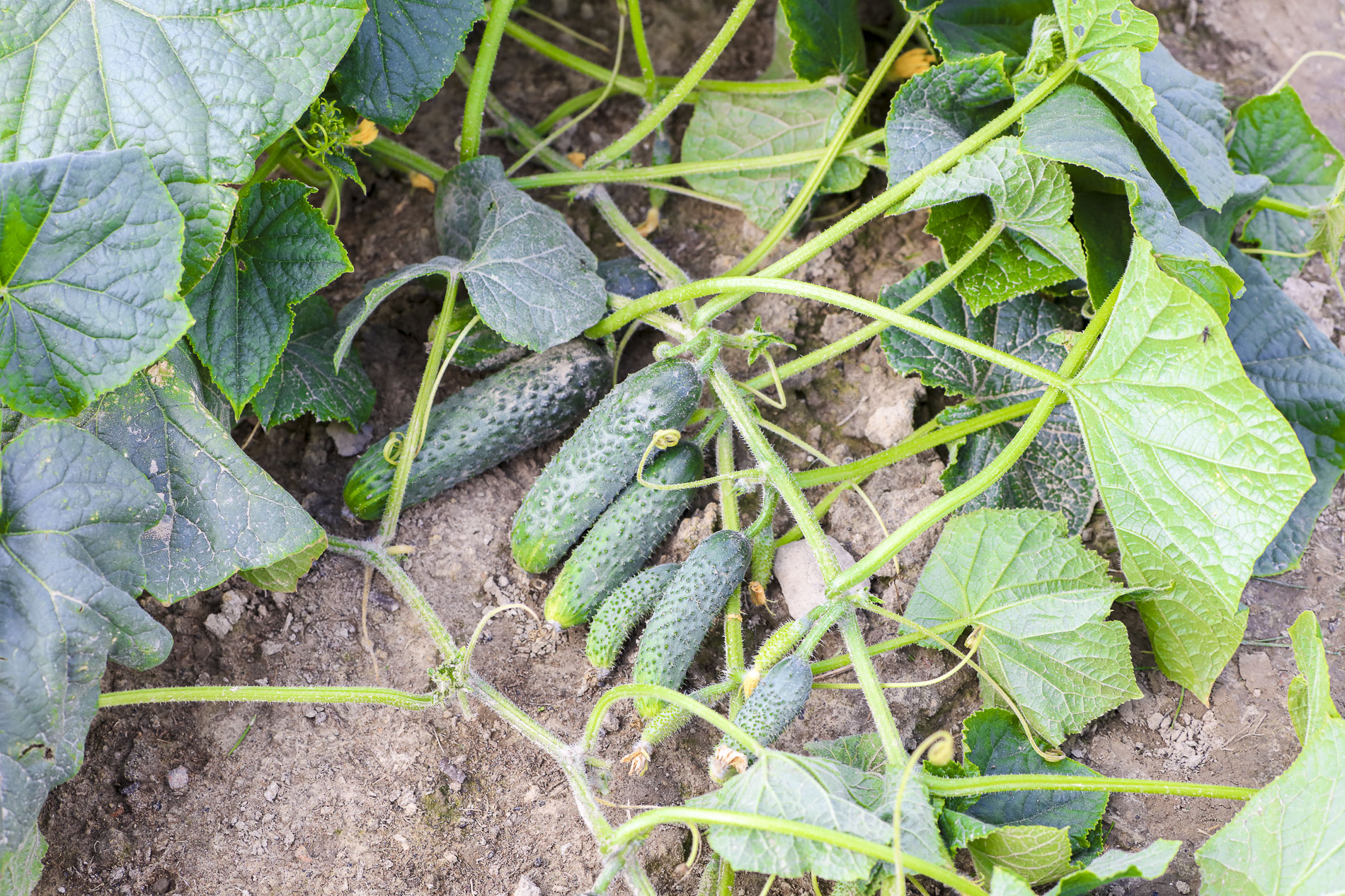 uprawa ogorków