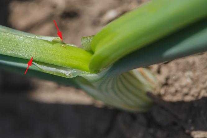Larwy wciornastków żerujące na szczypiorze cebuli