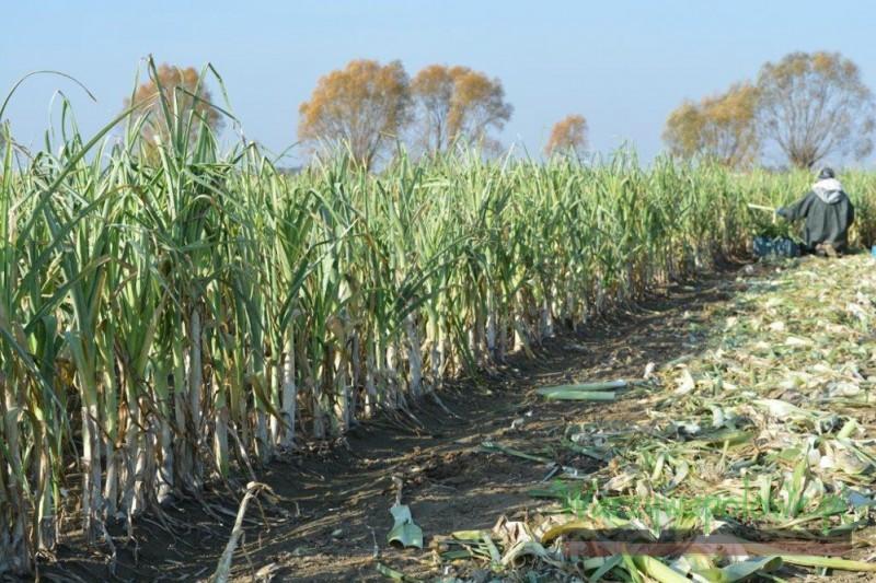 Sezon 2015 okazał się być korzystny dla odmian ustalonych sianych wprost do gruntu