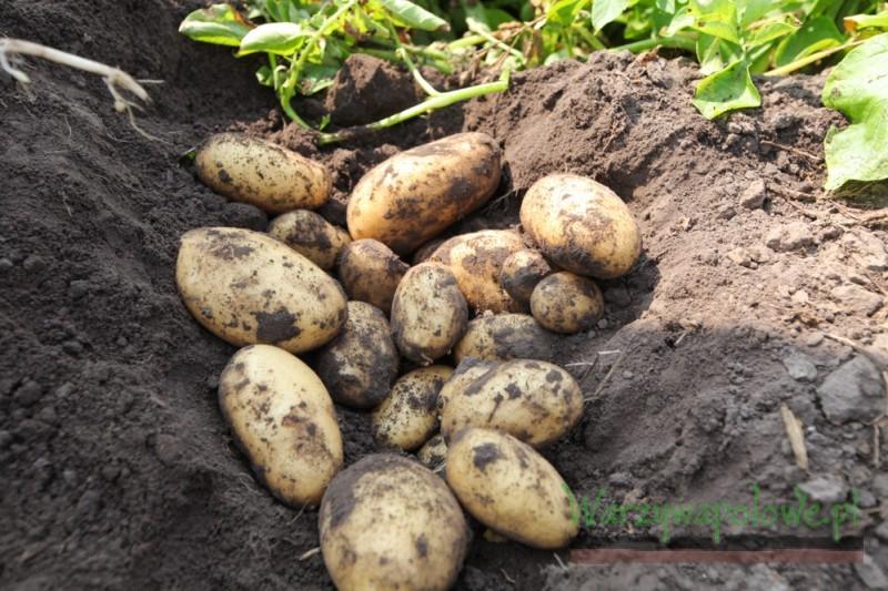 W tym roku uzyskano dobrą jakość ziemniaków i wysoki plon handlowy