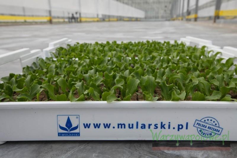 Rozsada sałat produkowana jest w doniczkach ziemnych umieszczanych w zbiorczych skrzynkach
