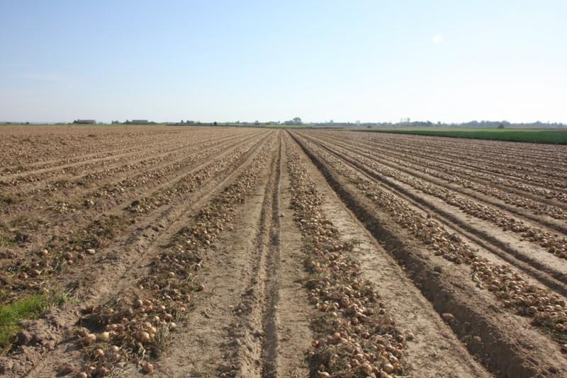Cebula - nowy, obiecujący kierunek produkcji warzyw