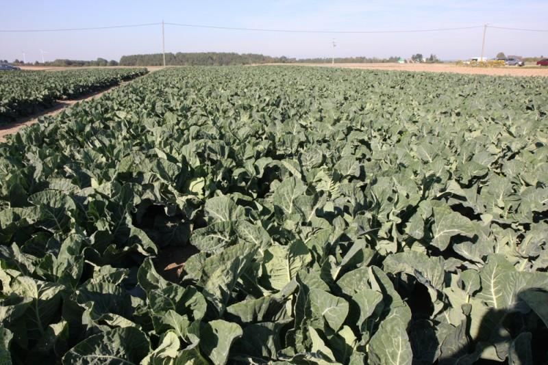 Uprawa warzyw kapustnych w ostatnich latach była bardziej rentowna niż sprzedaż ziemniaka jadalnego