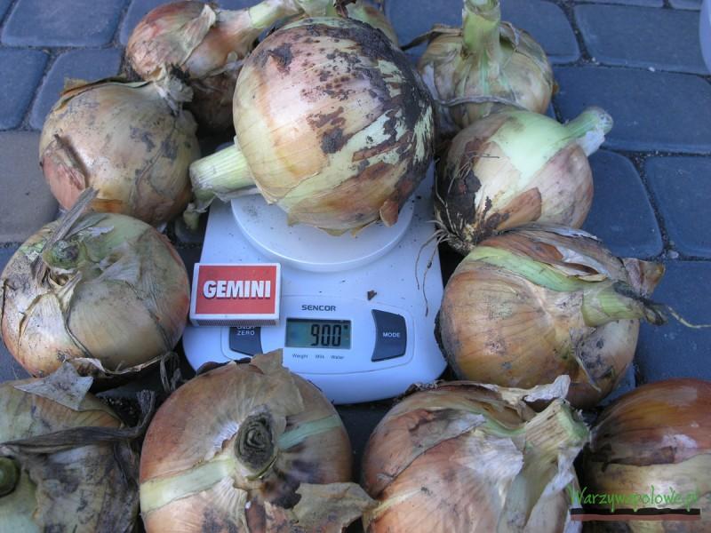 Przy odpowiednim nawożeniu możliwe jest uzyskanie takiej cebuli, w dużym kalibrazu