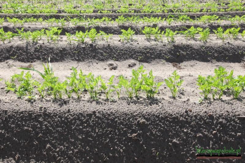 Obecnie marchew uprawiana jest głównie na wysokich redlinach