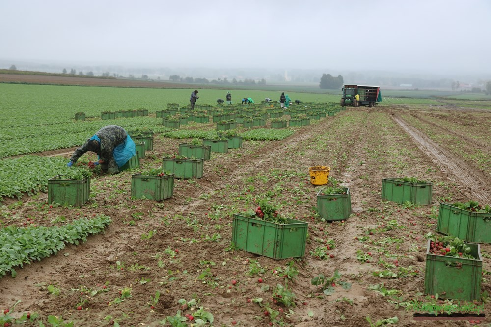 Przygotowanie rzodkiewek do zwożenia z pola